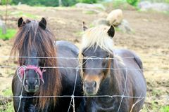 Ponies standing by a wire fence Royalty Free Stock Photo