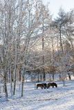 Ponies in winter forest Stock Photography