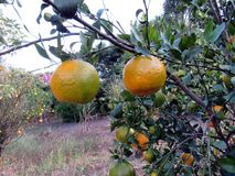 Ponkan  Citrus poonensis. `Chinese Honey Orange` is a high yield sweet citrus cultivar with large fruit the size of an orange Stock Image