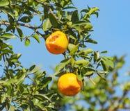 Ponkan tree: Ponkan fruit eaten by birds.  Royalty Free Stock Photography