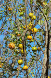 Ponkan tree with some ripe fruits Royalty Free Stock Photo