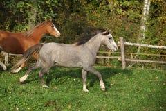 2 ponnies бежать на pasturage в осени Стоковая Фотография