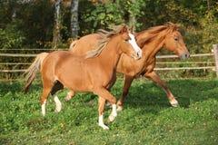 2 ponnies бежать на pasturage в осени Стоковое Изображение RF