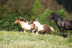 2 ponnies бежать перед черным kladruber на pasturage Стоковое фото RF