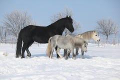 2 ponnies и одна конематка friesian в зиме Стоковая Фотография RF