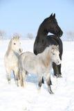 2 ponnies и одна конематка friesian в зиме Стоковые Фотографии RF