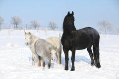 2 ponnies и одна конематка friesian в зиме Стоковое фото RF