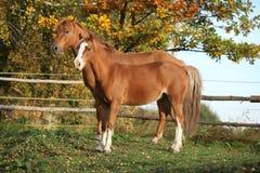 2 ponnies на pasturage осени Стоковое фото RF