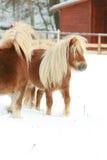 2 ponnies при длинная грива двигая в зиму Стоковые Изображения
