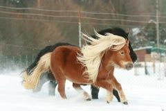 2 ponnies при длинные гривы бежать в зиме Стоковое Фото