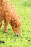 ponny Royaltyfria Bilder