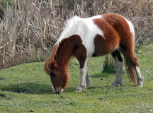 ponny Royaltyfri Bild
