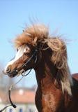 ponny Arkivfoton