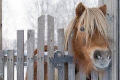 ponny Royaltyfri Foto