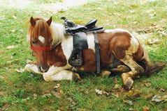 ponny Arkivbilder