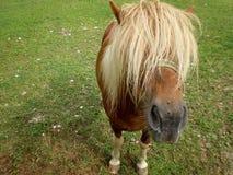 Ponny Fotografering för Bildbyråer