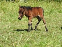 Ponny Zdjęcia Stock