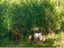 Ponny 免版税库存照片