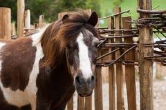 Ponny bredvid ett trästaket på en lantgård Arkivfoto