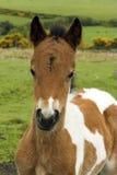 ponny för dartmoor 002980 Arkivbild