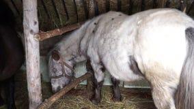 Ponny för vit häst lager videofilmer
