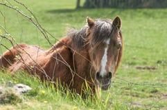 Ponny i ett fält Arkivbilder