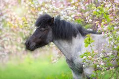 Ponny i vårblomningträd arkivfoto