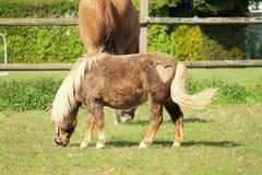 Ponny med hjärta i päls Arkivbild