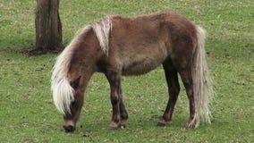 Ponny miniatyrhäst, hästar, lantgårddjur lager videofilmer