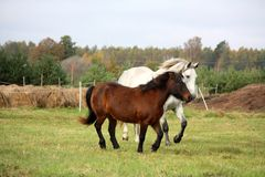 Ponny och häst som tillsammans kör Royaltyfri Bild