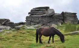 Ponny salvaje en el parque nacional de Dartmoor imagen de archivo libre de regalías