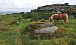 Ponny sauvage en parc national de Dartmoor Photos stock