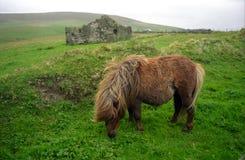 ponny scotland shetland Royaltyfri Foto