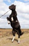 ponny shetland Arkivfoto