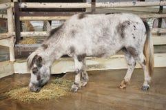 ponny shetland Fotografering för Bildbyråer
