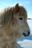 ponny shetland Royaltyfria Bilder