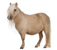 ponny shetland för caballusequuspalomino Royaltyfri Fotografi