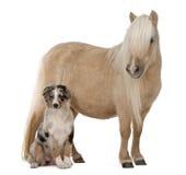 ponny shetland för caballusequuspalomino Arkivfoto