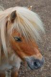 ponny shetland som plattforer upp Royaltyfri Fotografi