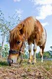 Ponny som äter gräs Royaltyfria Bilder
