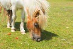 Ponny som äter jordgubbar den nya Forest Hampshire UK royaltyfri fotografi