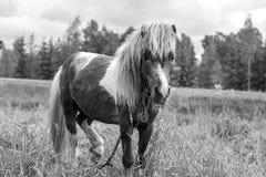 Ponny som betar i friluftsdag Royaltyfri Fotografi