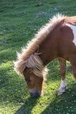 Ponny som betar, Spanien arkivfoton