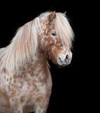 Ponny som isoleras på svart Royaltyfri Foto