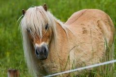 Ponny som ser kameran Arkivfoto