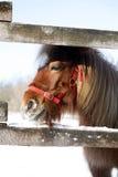 Ponny som ser ut ur vinterfållan Arkivfoto
