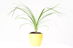 Ponny tail cactus. Plant in a yellow vase - Nolina recurvata Royalty Free Stock Photos