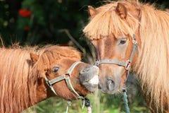 Ponny två Arkivfoto