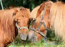 Ponny två Arkivfoton