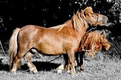Ponny två Royaltyfri Foto